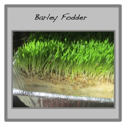 barley fodder button