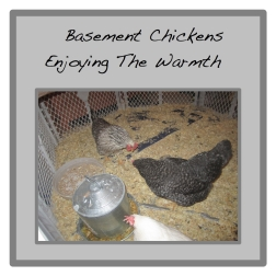basement chickens button