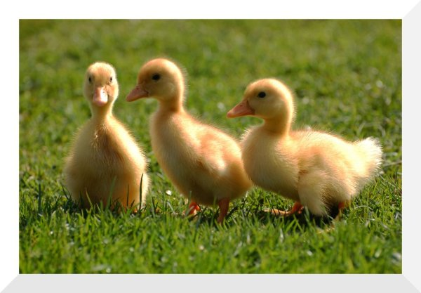 pekin_ducklings_by_ahorselv-d30af6n