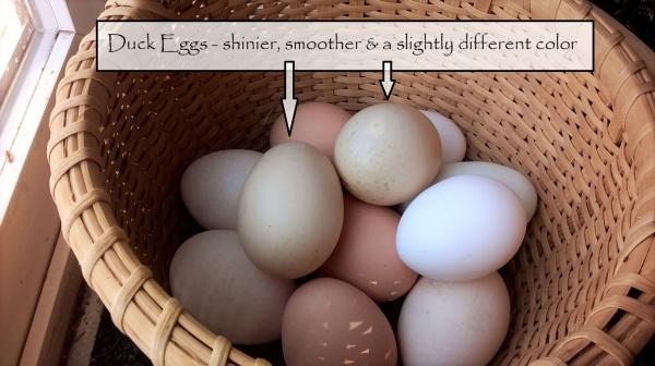 duck eggs 2
